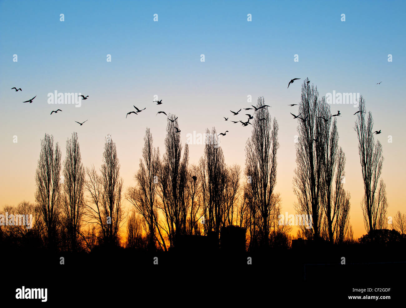 A flock of seagulls flying over trees as the sun rises. - Stock Image