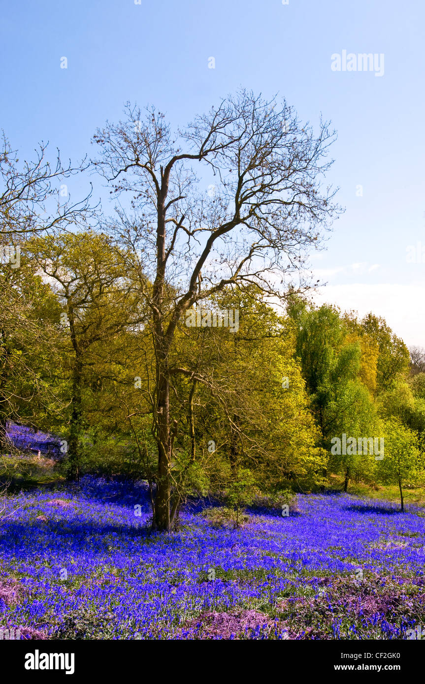 Bluebells carpeting the ground in Langdon Hills Country Park. - Stock Image