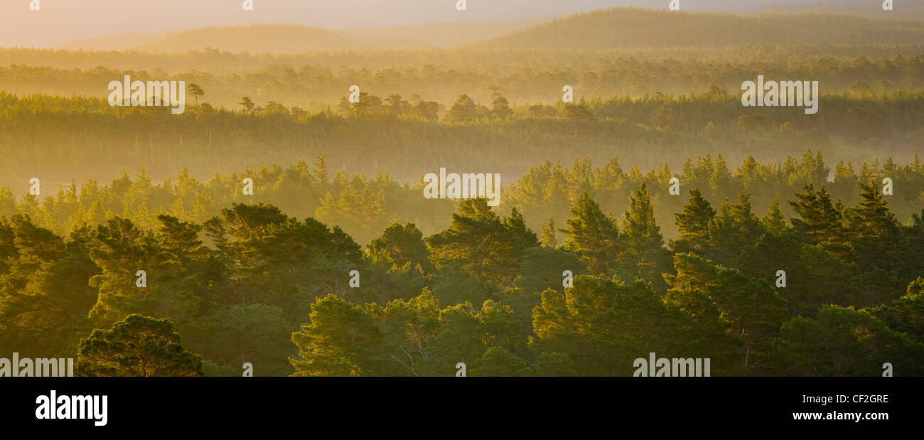Mist rising at dawn over the Caledonian Forest of the Rothiemurchus estate, in the Cairngorms National Park. - Stock Image