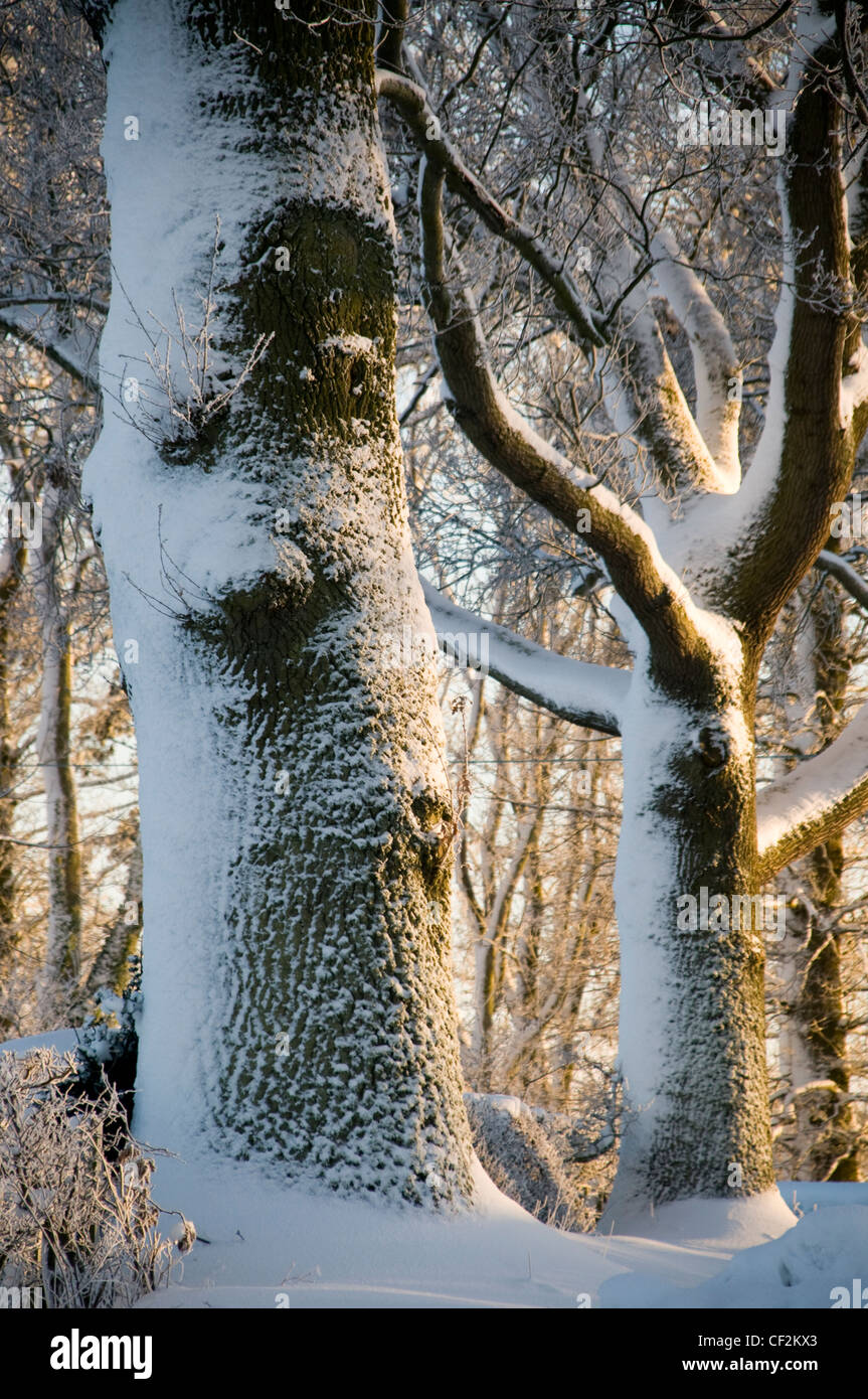 Woodland in the Scottish Borders covered in snow. - Stock Image