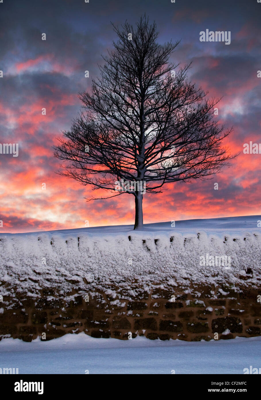 A lone, snow covered tree at sunset. - Stock Image