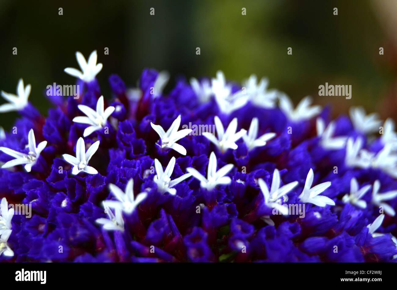 Macro surface of statice flower - Stock Image