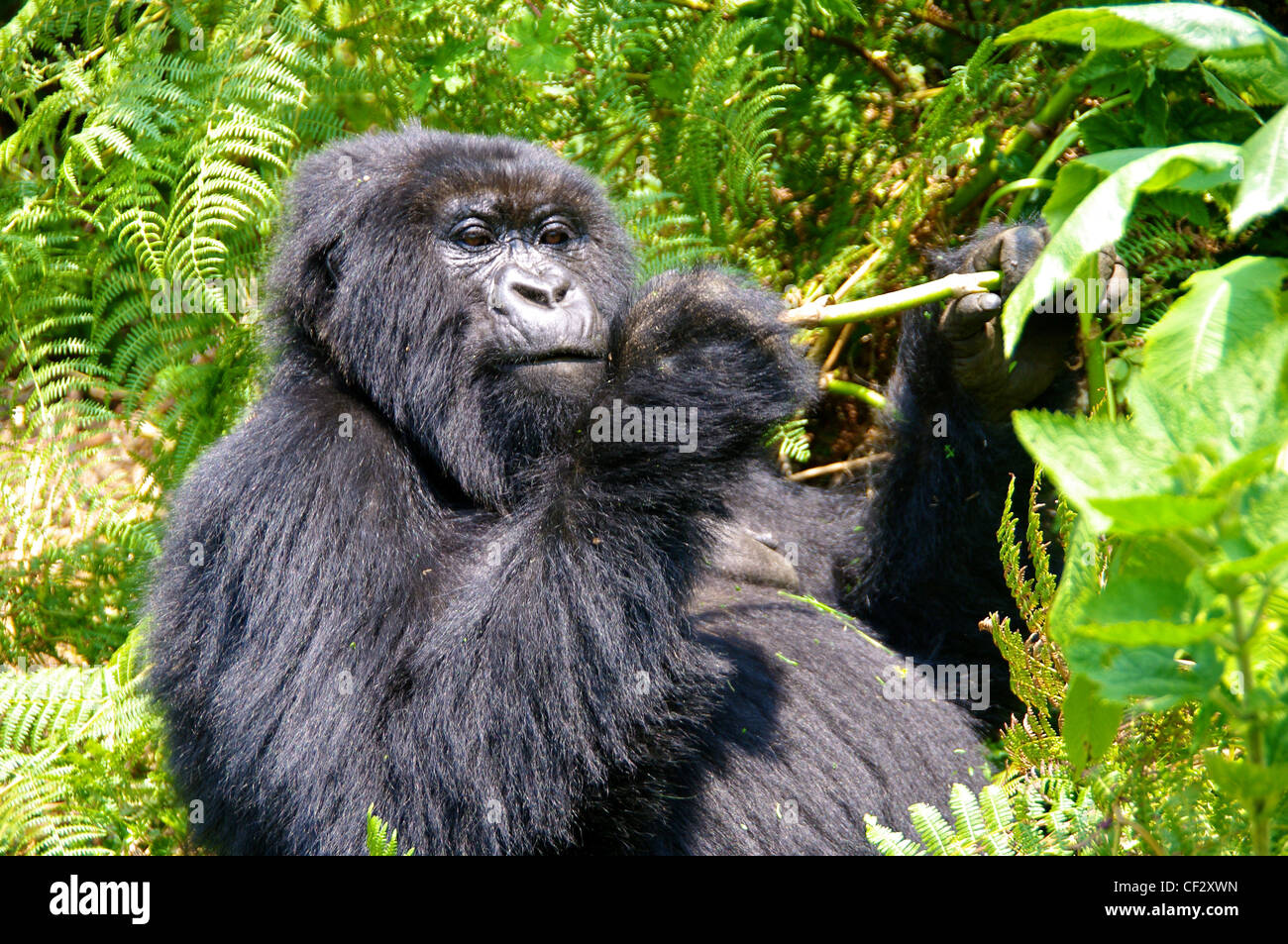 Gorilla with Lunch in Rwanda - Stock Image