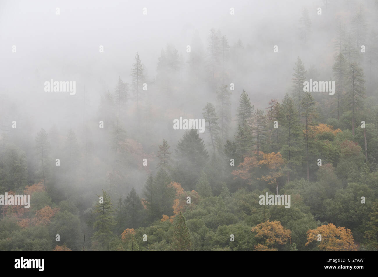 Fog invades a Sierra Mountain forest of evergreen and deciduous trees. Autumn, Northern California. - Stock Image