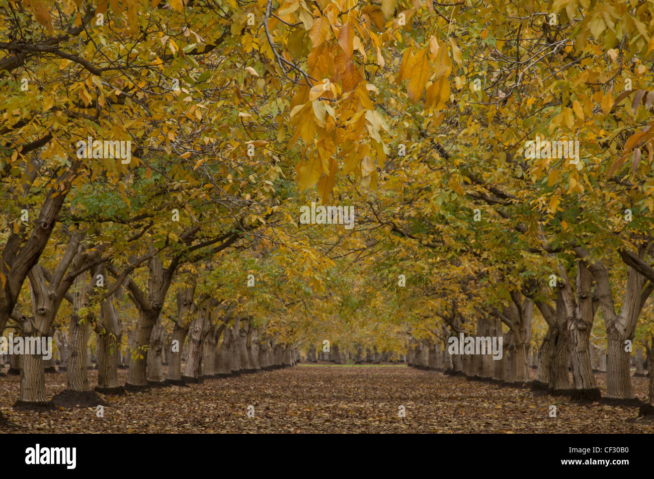 Northern California Walnut Orchard in Autumn after harvest of the nut crop. - Stock Image