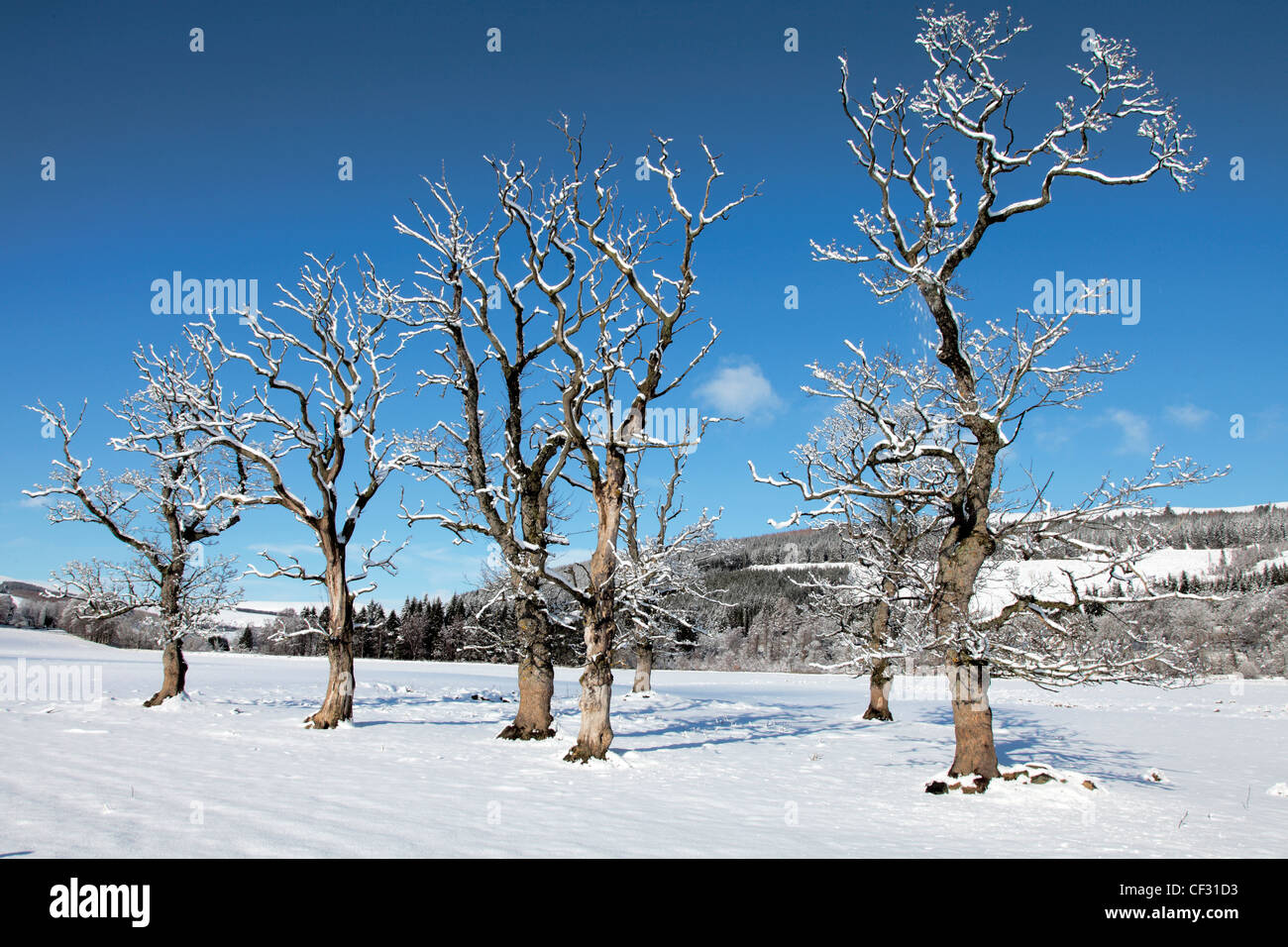 Bare winter trees laden with snow. - Stock Image