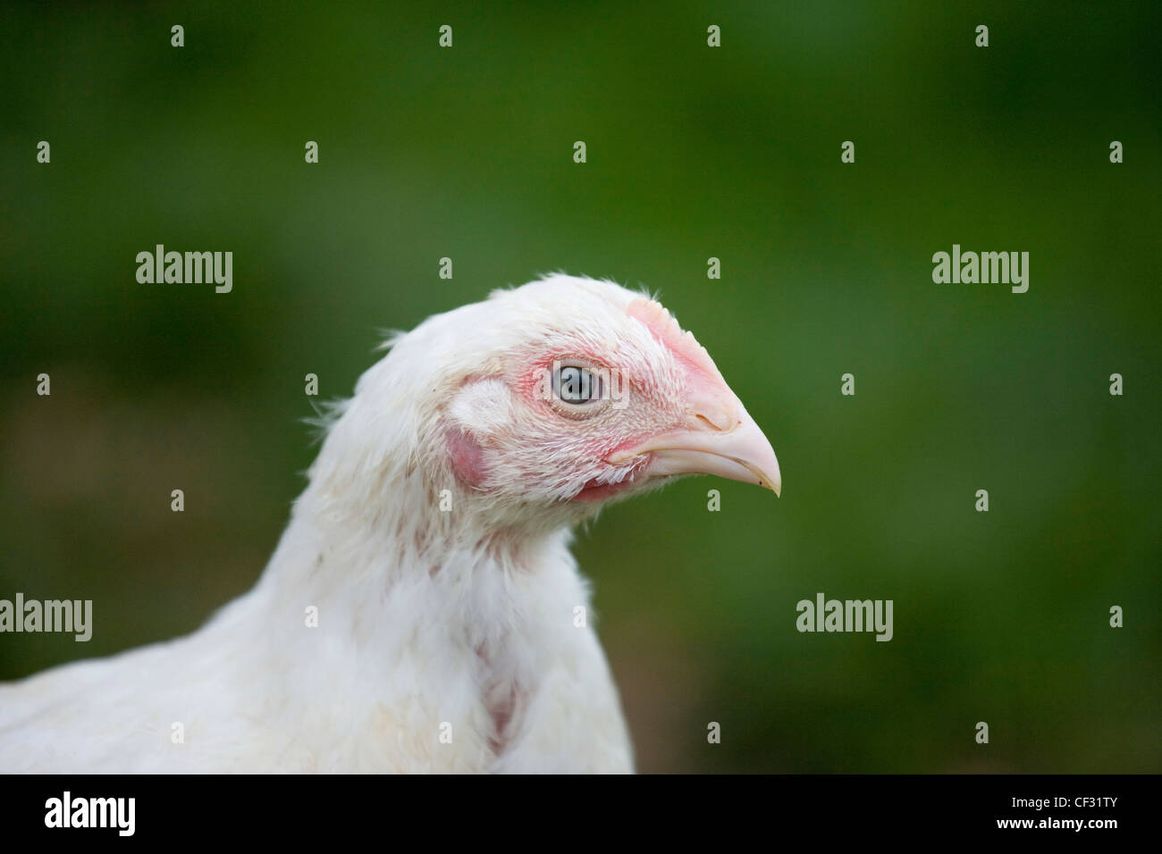 English Breed Chicken Stock Photos & English Breed Chicken