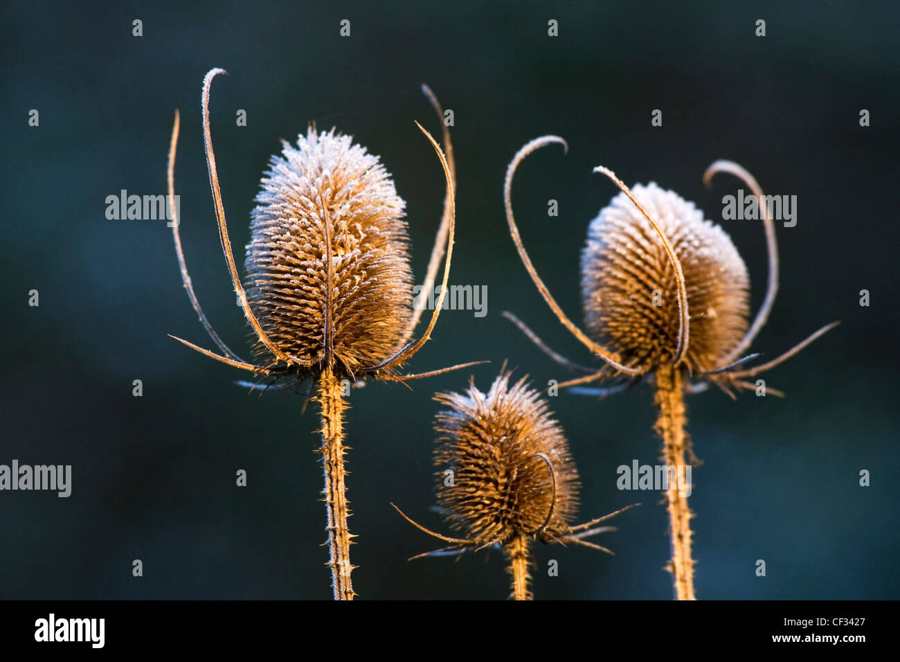 A close-up of Teasel (Dipsacus fullonum), a popular biennial wildflower. - Stock Image