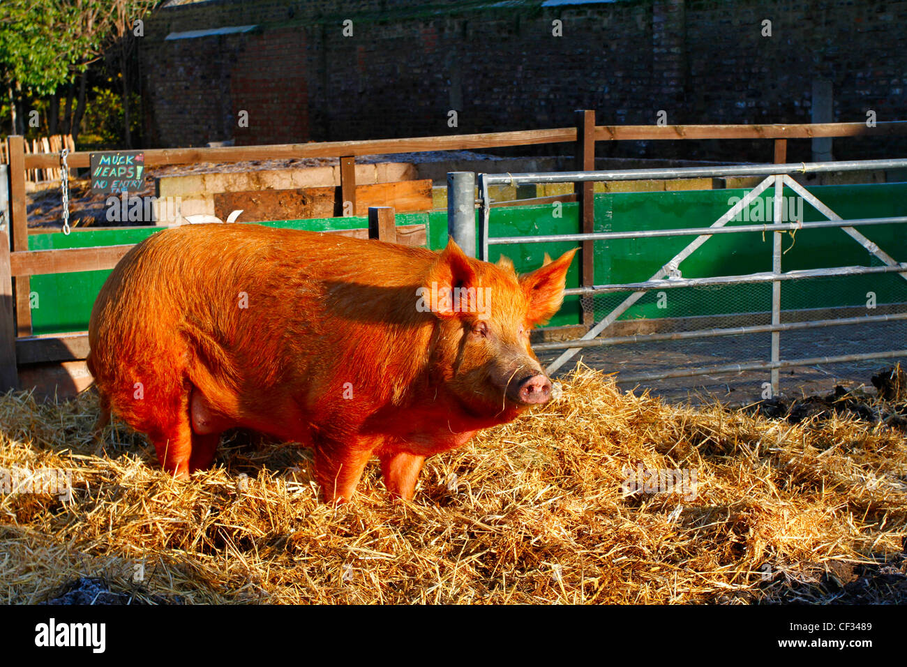 A Tamworth sow at Hackney City Farm, a community project offering city dwellers the opportunity to experience farming - Stock Image