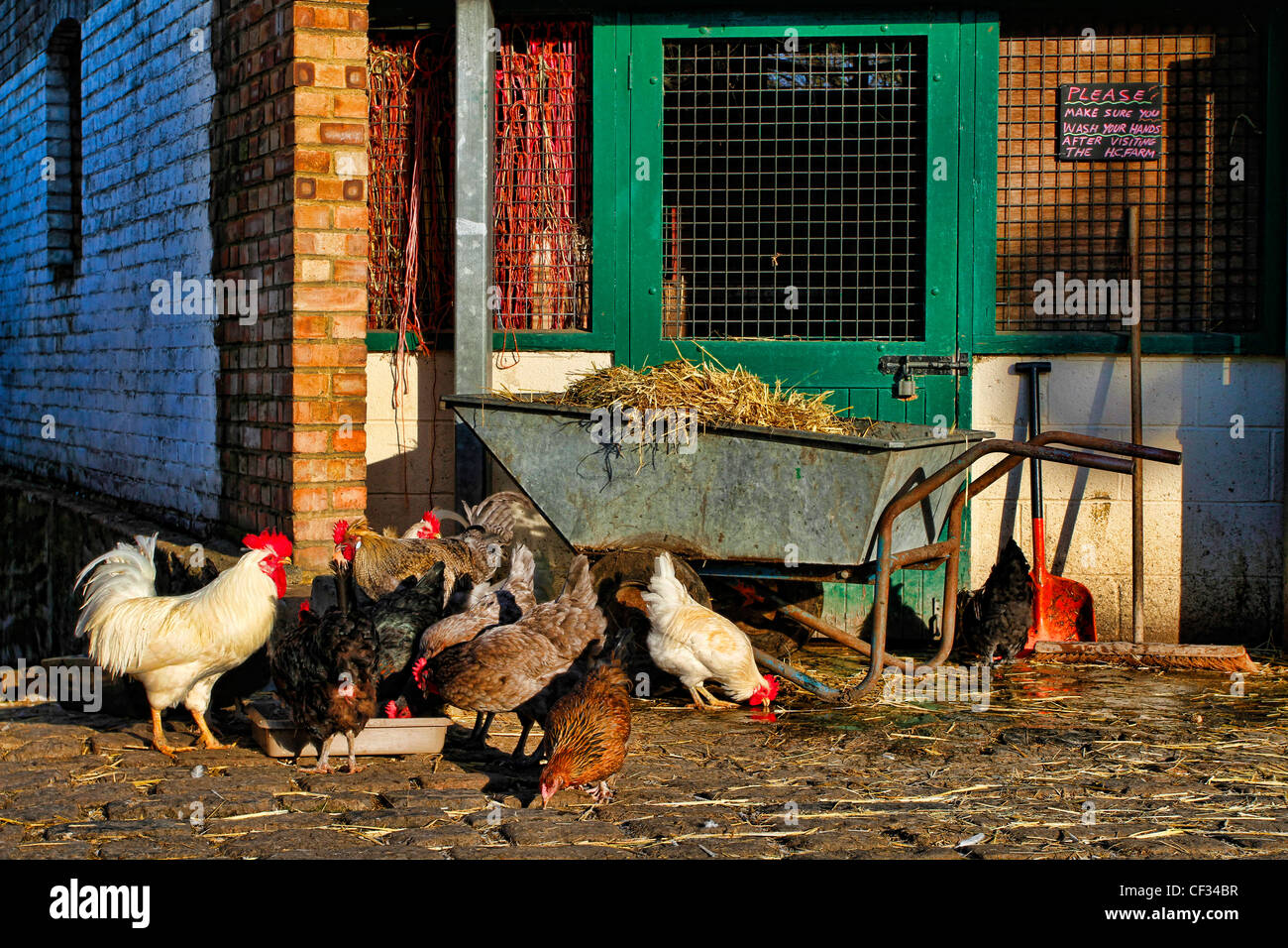 Bantam cockerels and hens feeding in a yard at the Hackney City Farm, a community project offering city dwellers - Stock Image