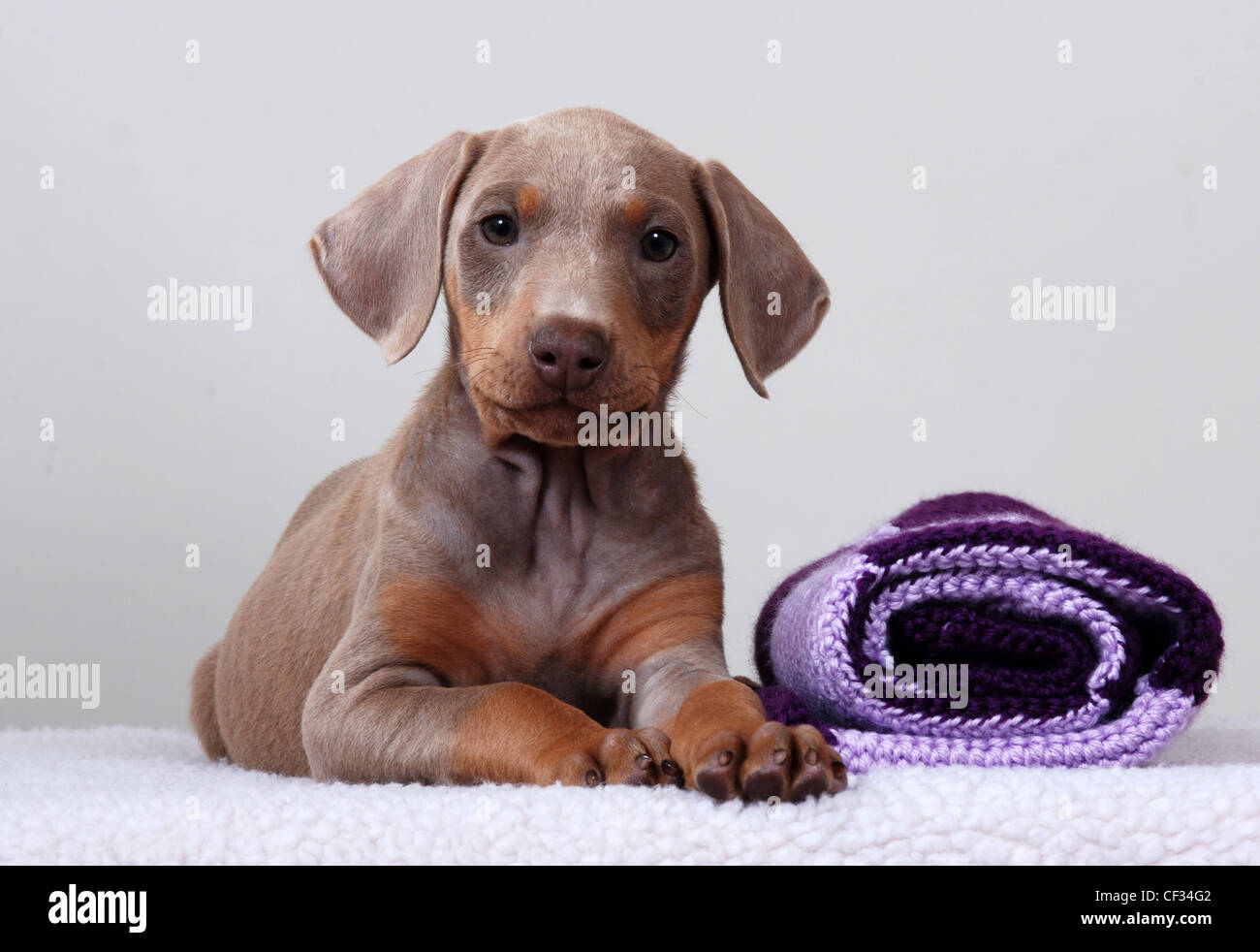 Doberman Pinscher Puppy White Background Stock Photo Alamy