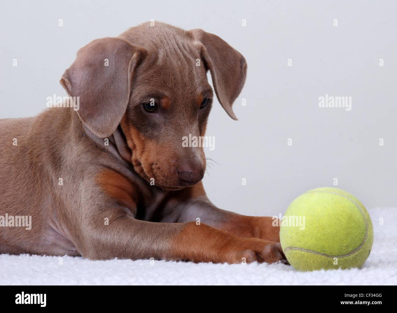 Doberman Pinscher puppy staring at a tennis ball. - Stock Image