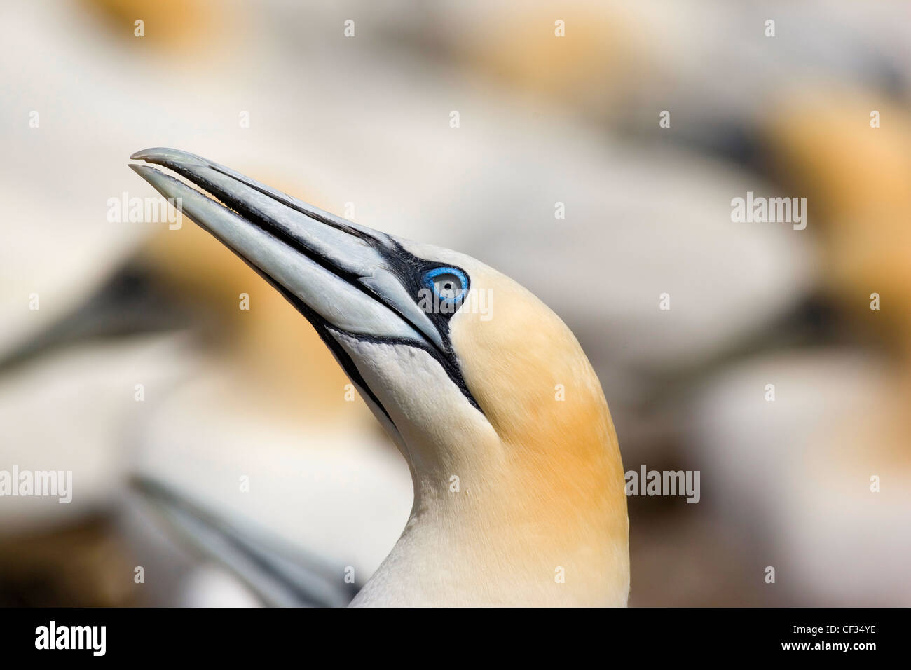 Northern Gannet (Morus bassanus), the largest member of the gannet family on The Bass Rock (The Bass), a volcanic - Stock Image