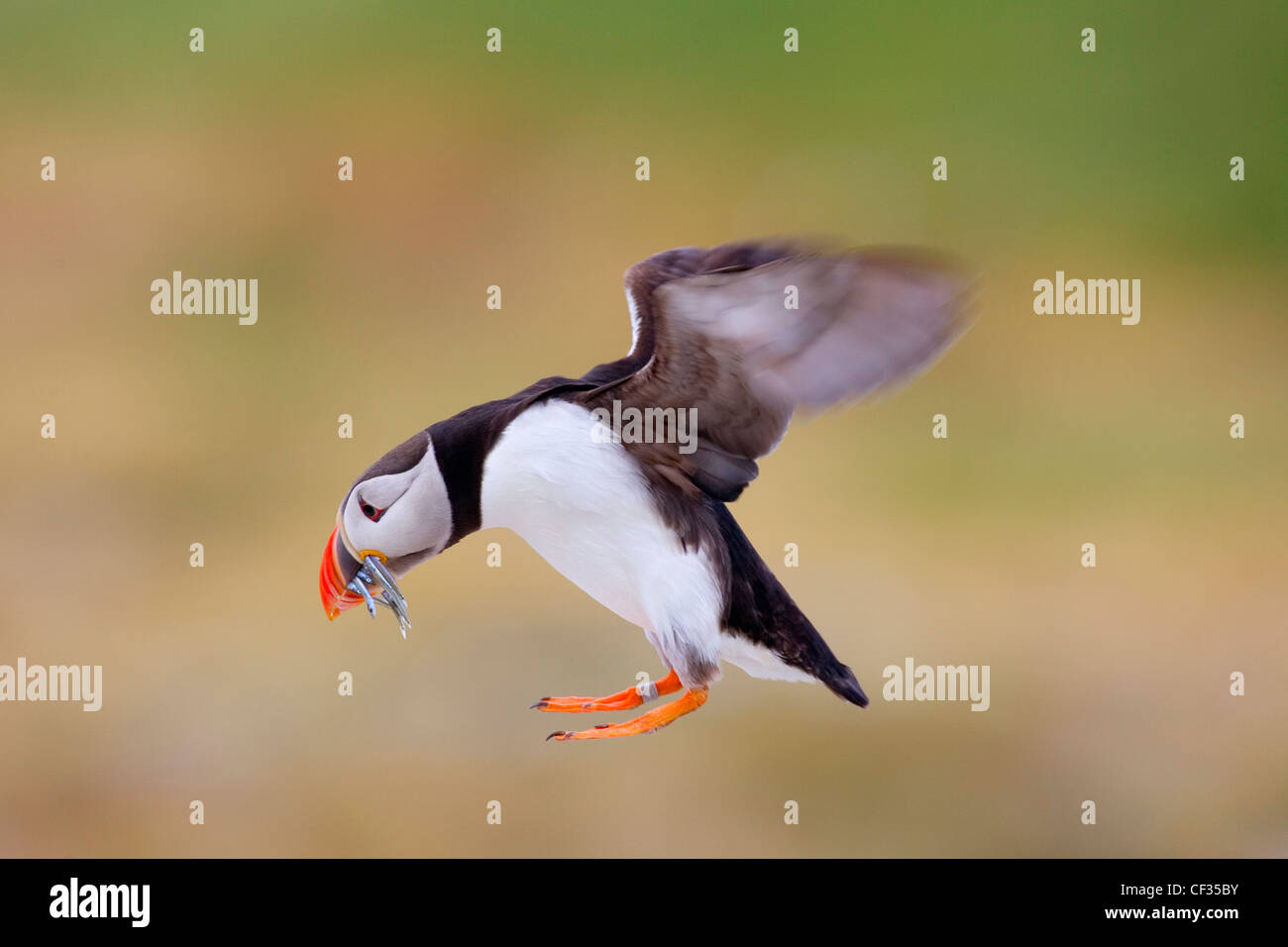 An Atlantic Puffin (Fratercula arctica) flying with fish in its bill. - Stock Image