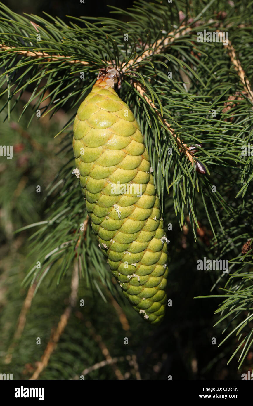 Morinda Spruce or West Himalayan Spruce Cones, Picea Smithiana, Pinaceae. Western Himalayas. - Stock Image