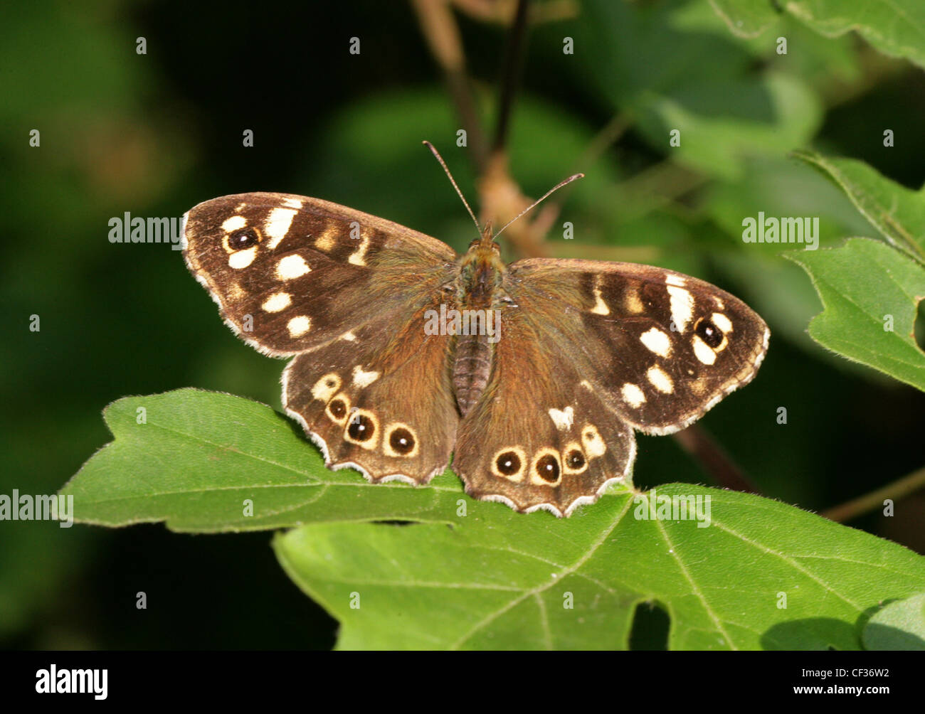 Speckled Wood Butterfly, Pararge aegeria, Nymphalidae. British Wildlife, Insect. Stock Photo