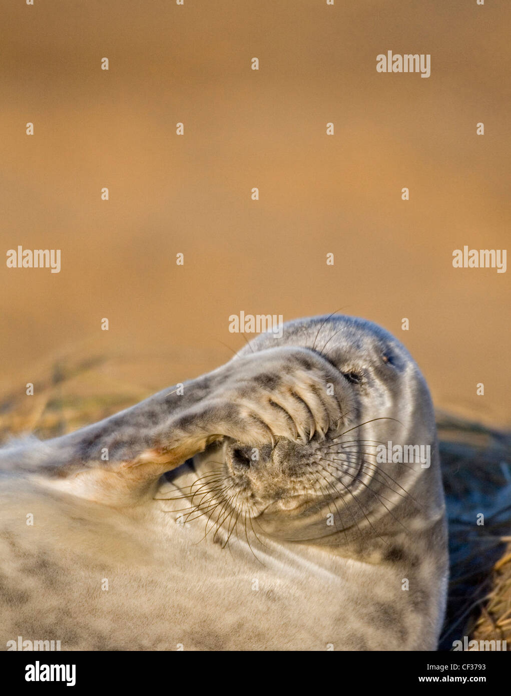 Close-up of a grey seal (Halichoerus grypus) at Donna Nook in Lincolnshire. Stock Photo