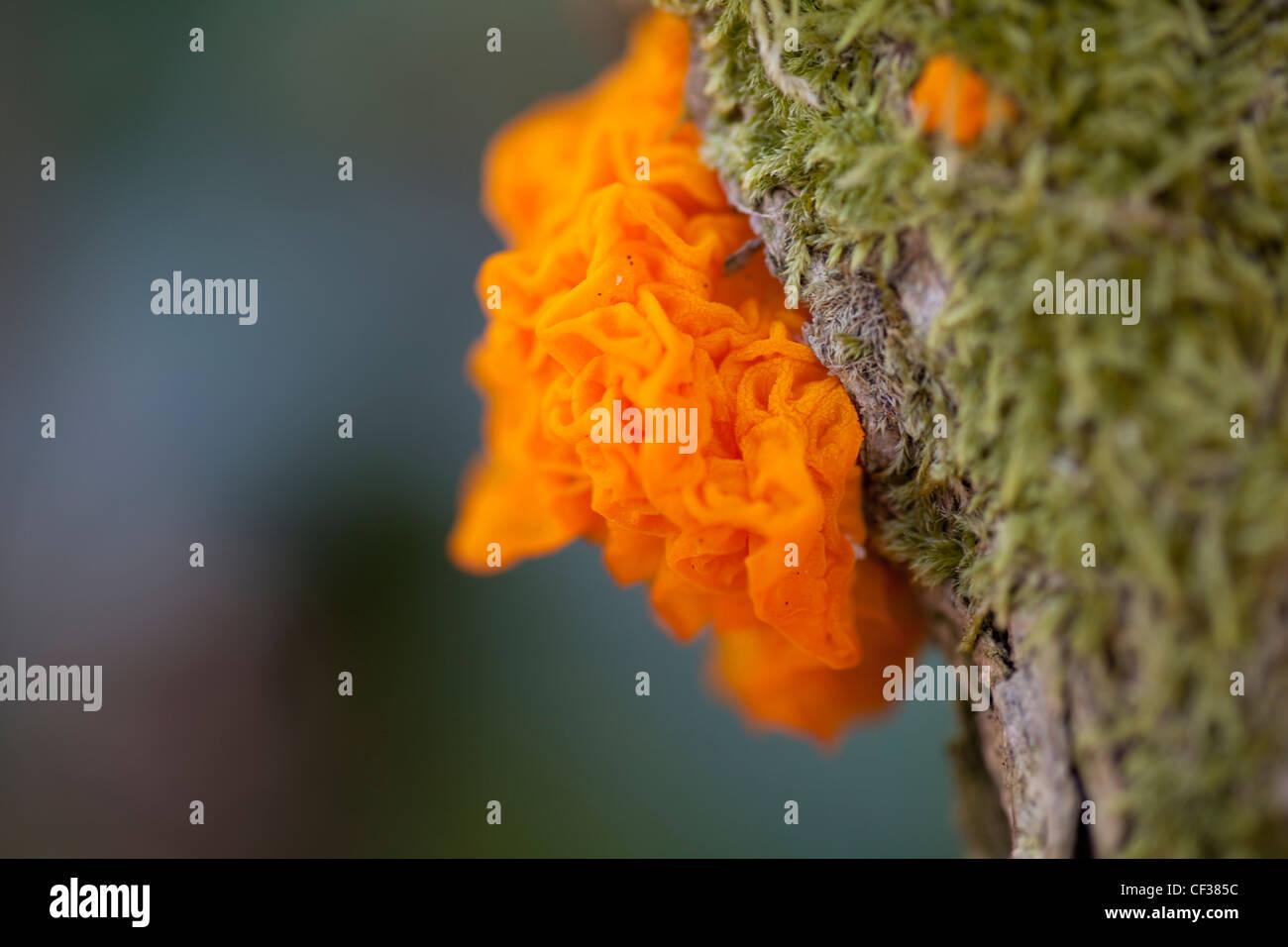 Orange Jelly Fungus (Tremella mesenterica), growing on dead Gorse branch, shaped like a human head in profile. - Stock Image