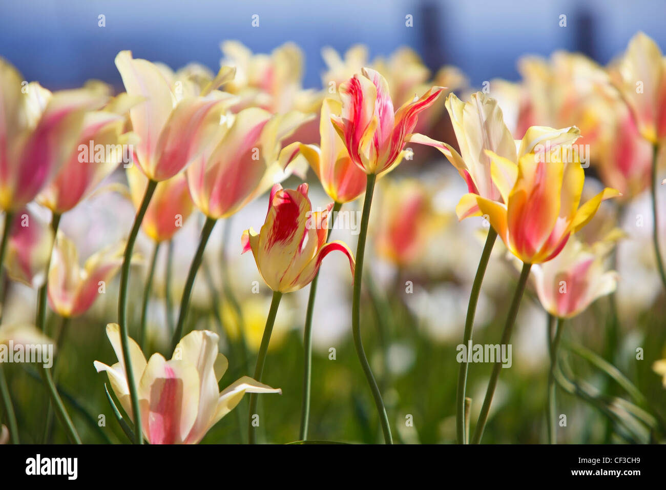 Tulips In A Field At Wooden Shoe Tulip Farm; Woodburn Oregon United States Of America - Stock Image