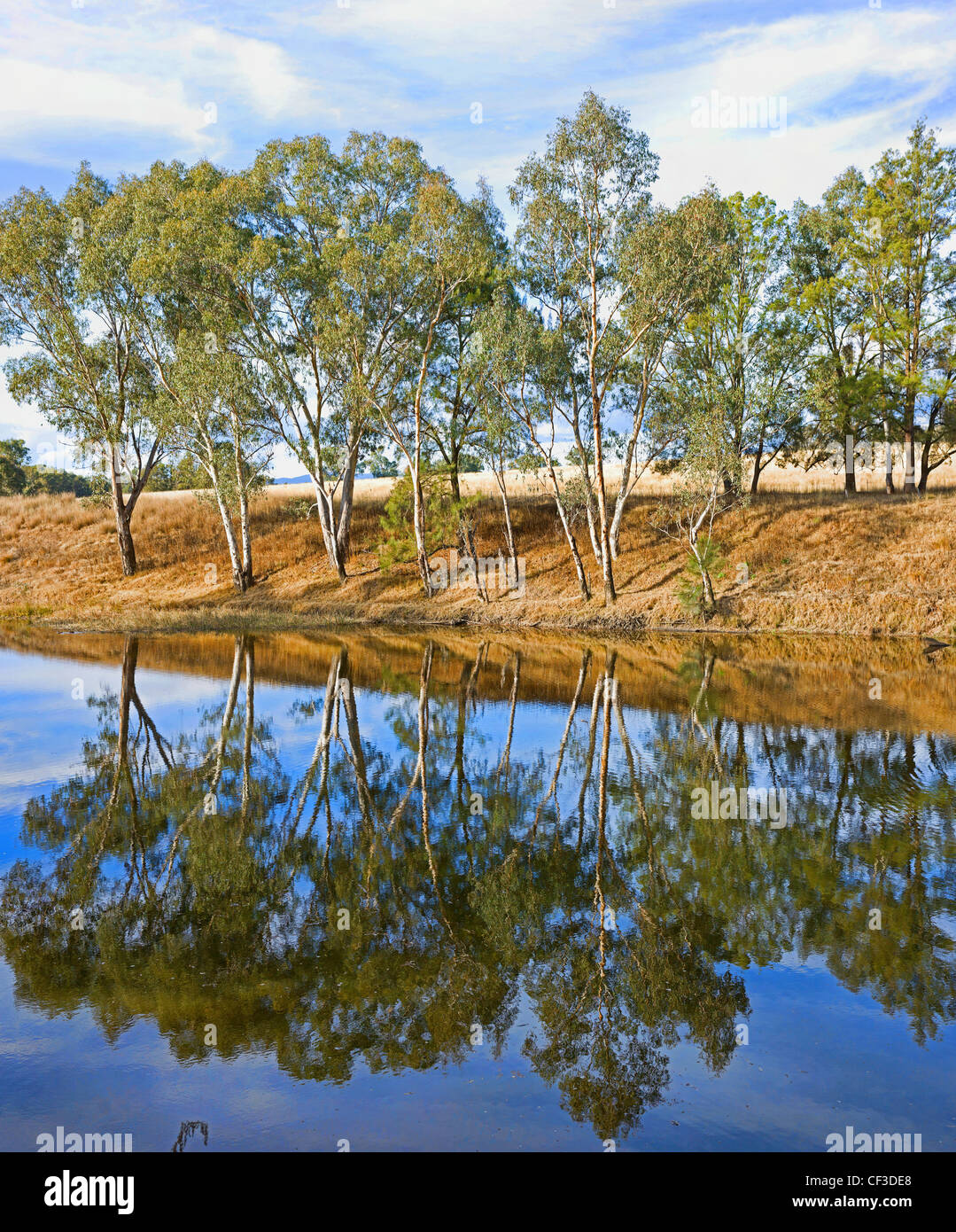 gum or eucalyptus trees reflecting in the river - Stock Image