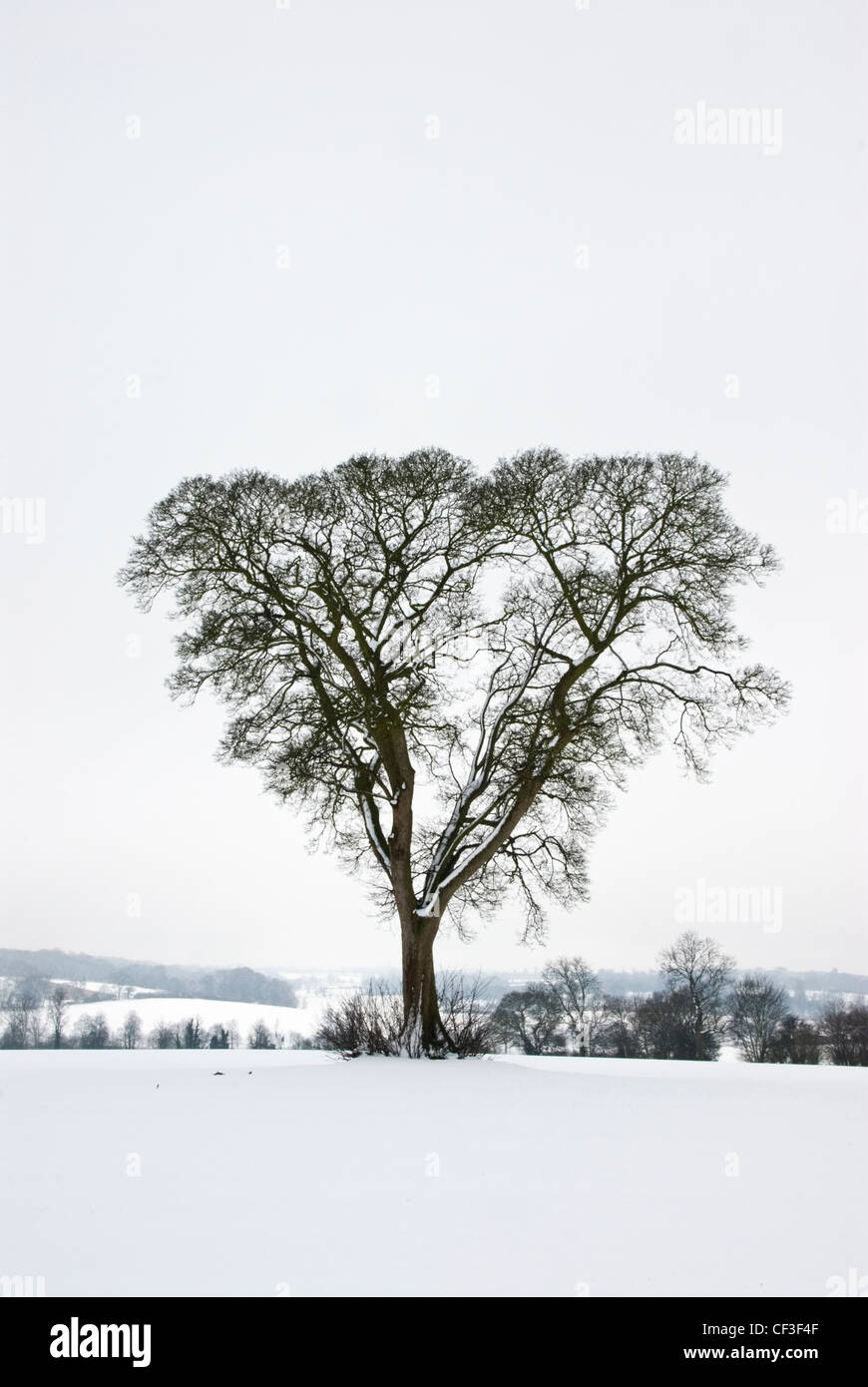 A leafless tree in a winter landscape at Ashridge in Hertfordshire. - Stock Image
