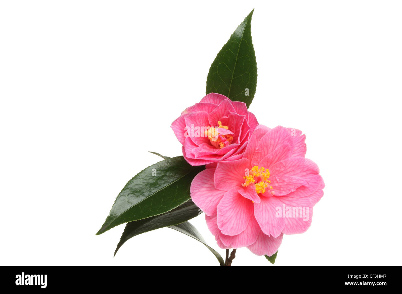 Camellia flowers and foliage isolated against white - Stock Image