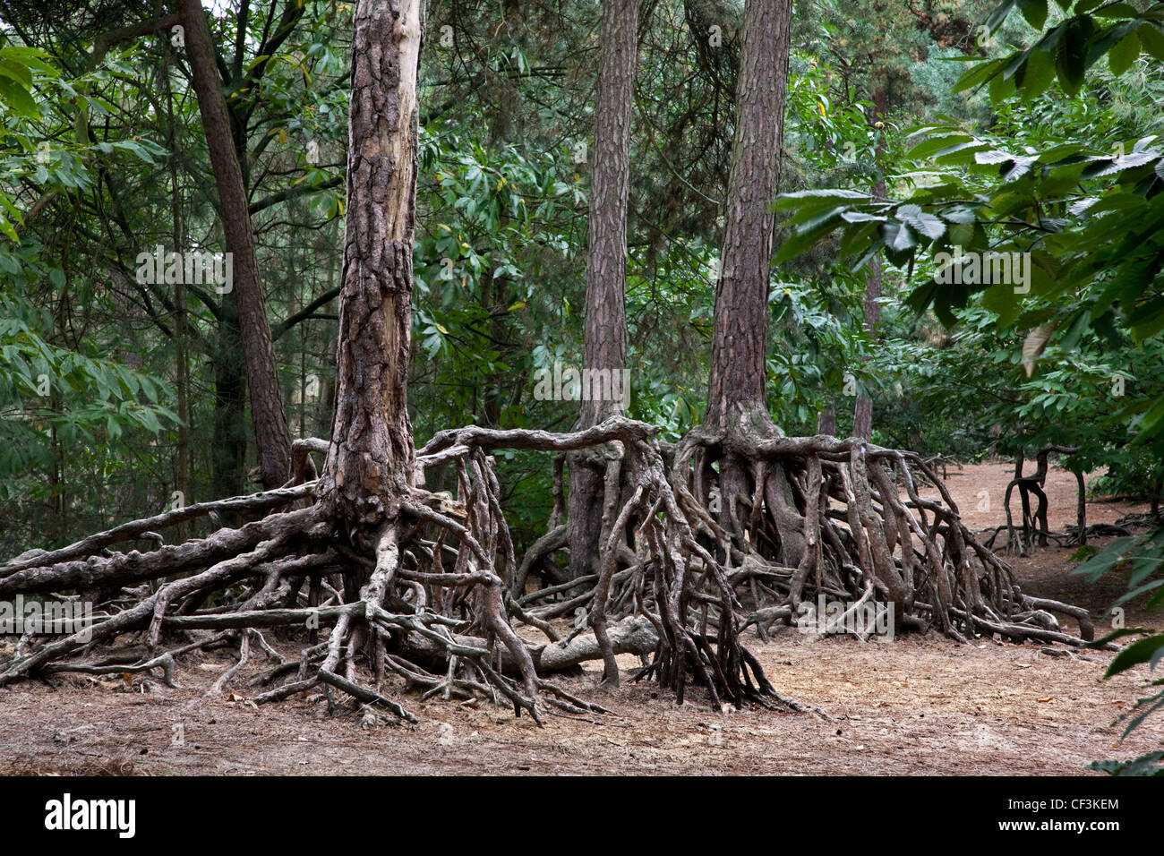 Exposed roots of Scots Pine (Pinus sylvestris) due to soil erosion in forest at Kasterlee, Belgium - Stock Image