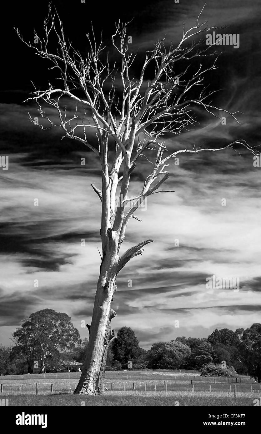 dead gum tree - Stock Image