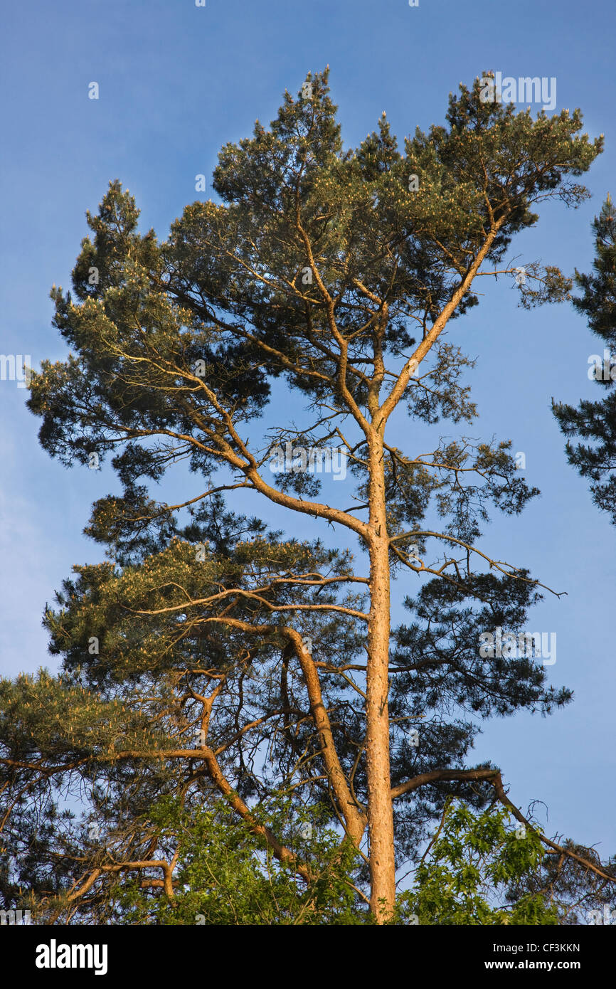 Tree top of Scots Pine (Pinus sylvestris), Belgium - Stock Image