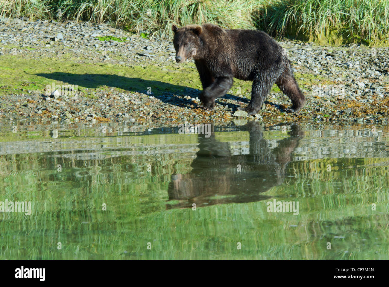 Grizzly bear walking - photo#49