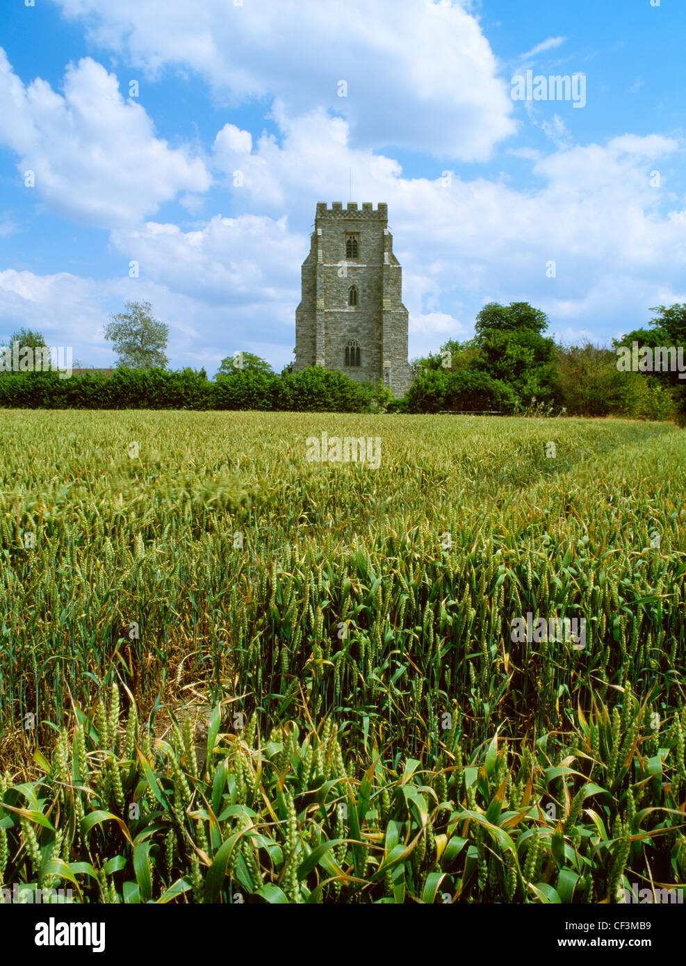 A wheat field and St Nicholas' 15th-century church on Beacon Hill where the Danish leader Cnut (Canute) camped - Stock Image