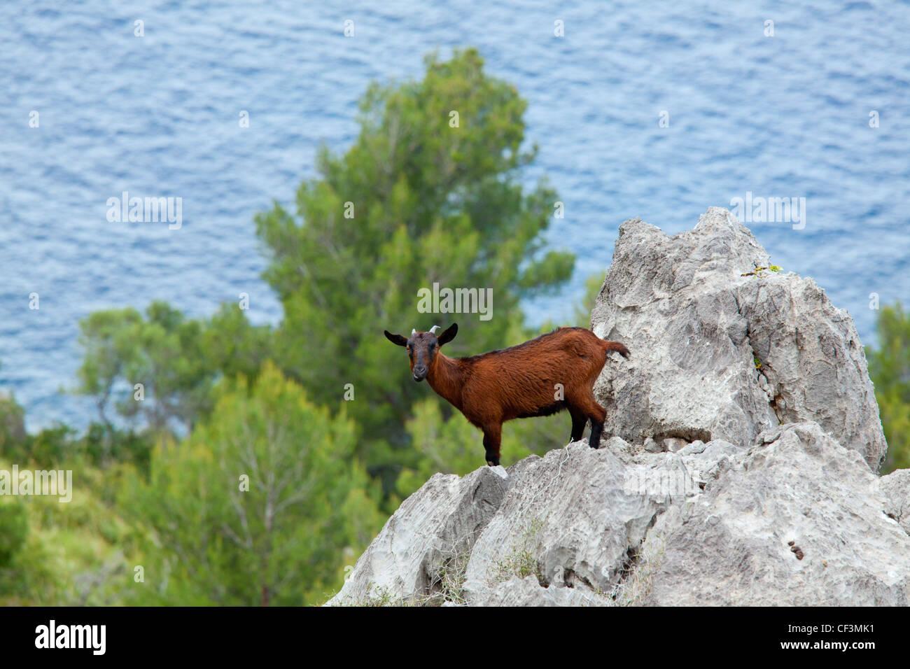 Feral domestic goat on a rock near Sa Calobra, Majorca, Spain - Stock Image