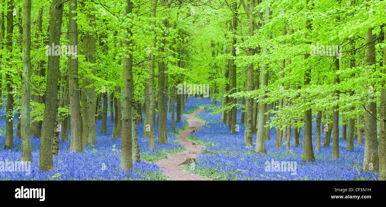 Path cutting through Bluebells in Dockey Woods on the Hertfordshire/ Buckinghamshire border. - Stock Image