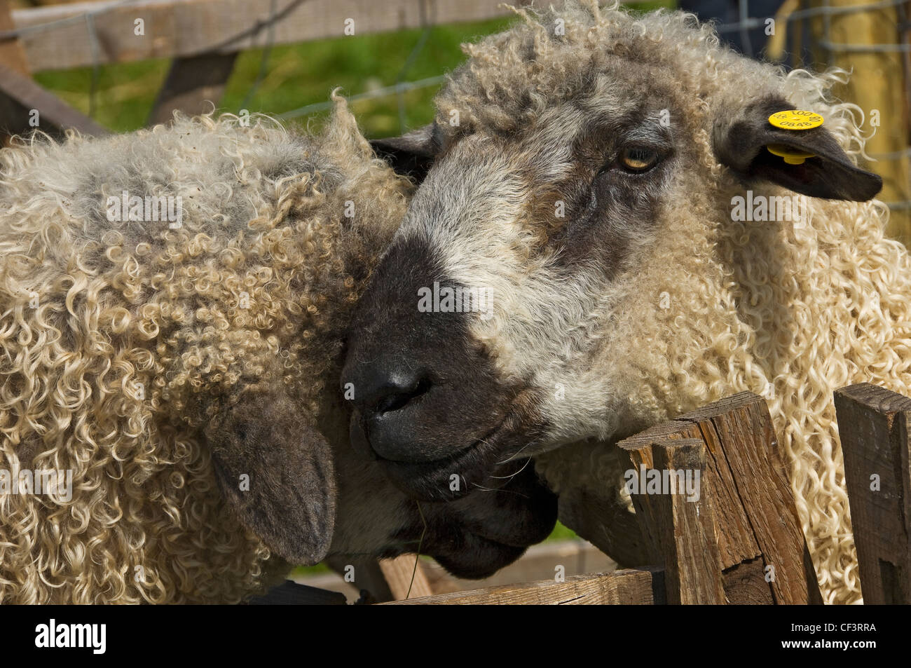 Close up of sheep at Gargrave Show, an annual country show near Skipton. - Stock Image