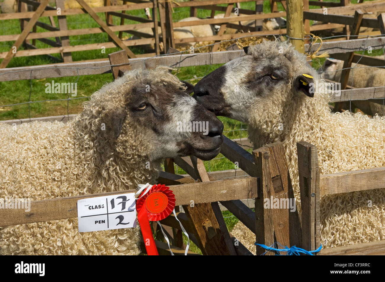 Prize winning sheep in a pen at Gargrave Show, an annual country show near Skipton. - Stock Image
