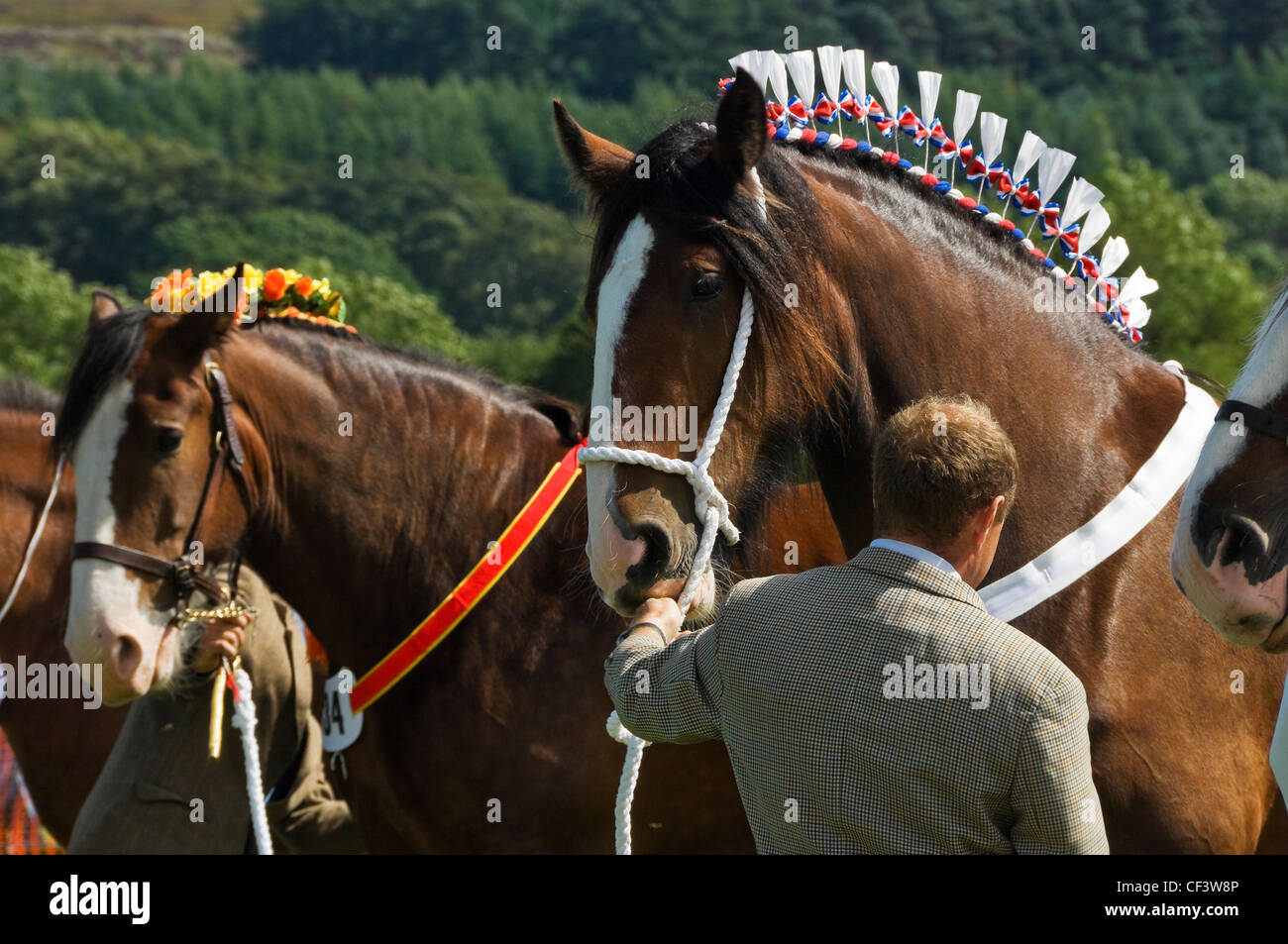 Heavy horses on show at the Rosedale & District Agricultural, Horticultural and Industrial Society Annual Show. - Stock Image