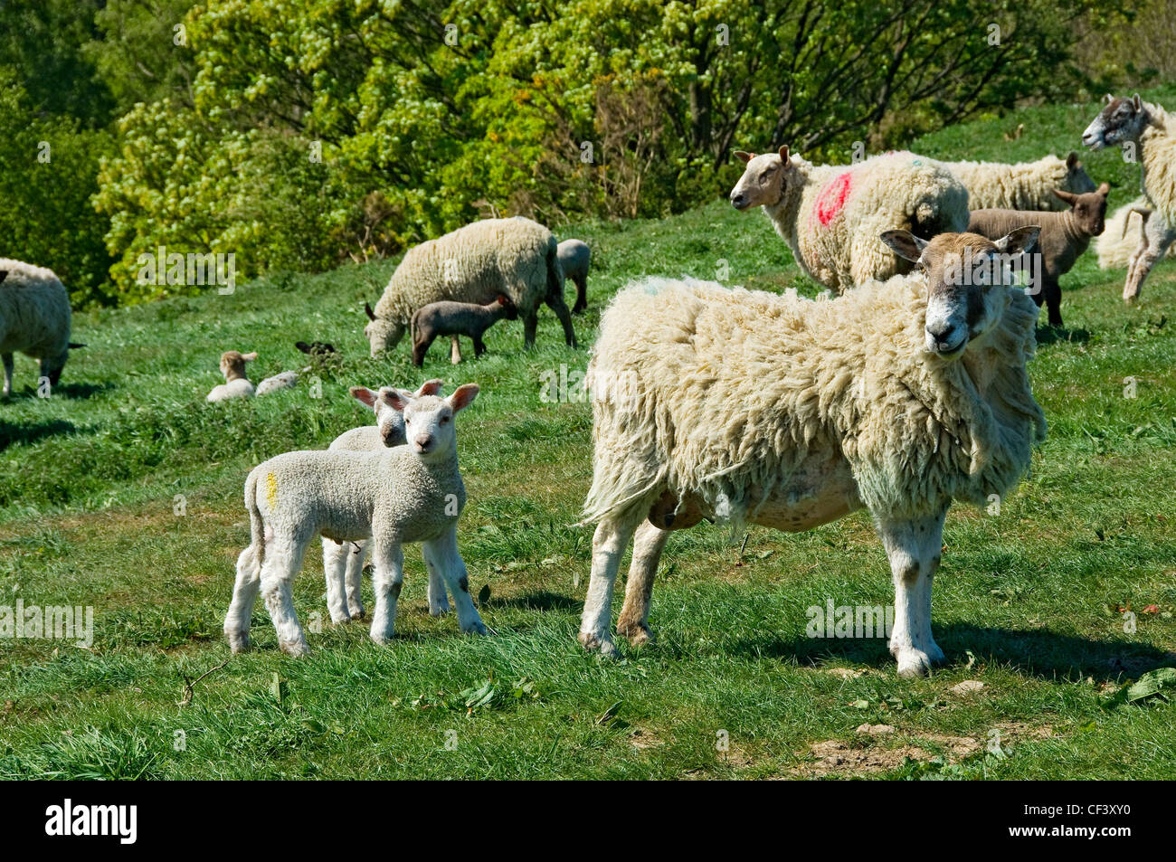 Ewes and lambs in a field in spring. - Stock Image