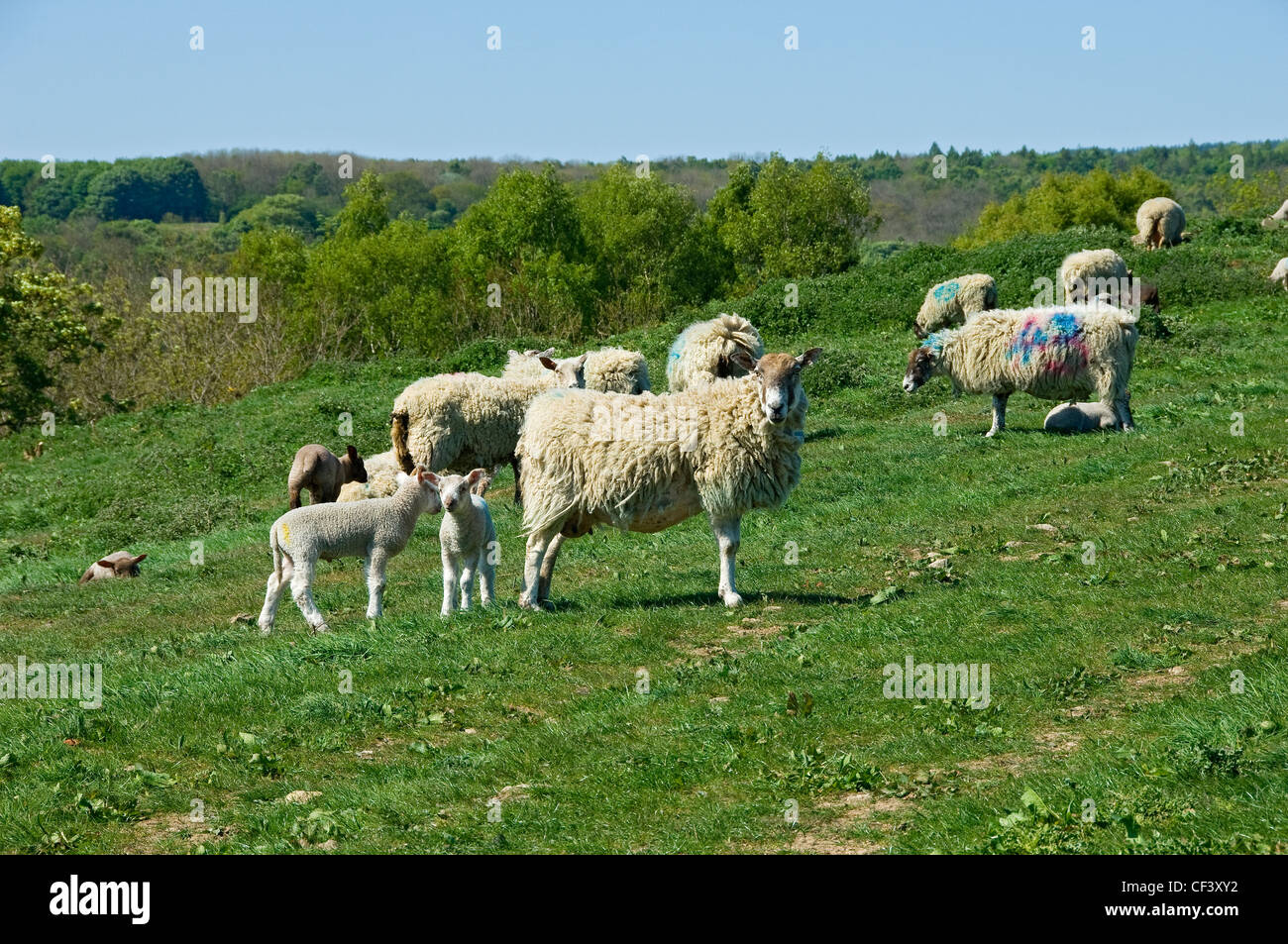Ewes and lambs in spring. - Stock Image