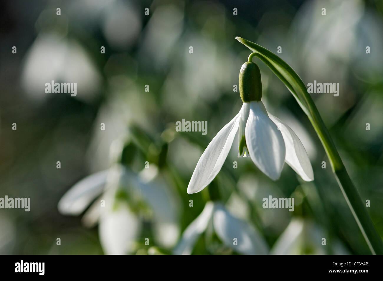 Close up of snowdrop (galanthus nivalis) in garden. - Stock Image