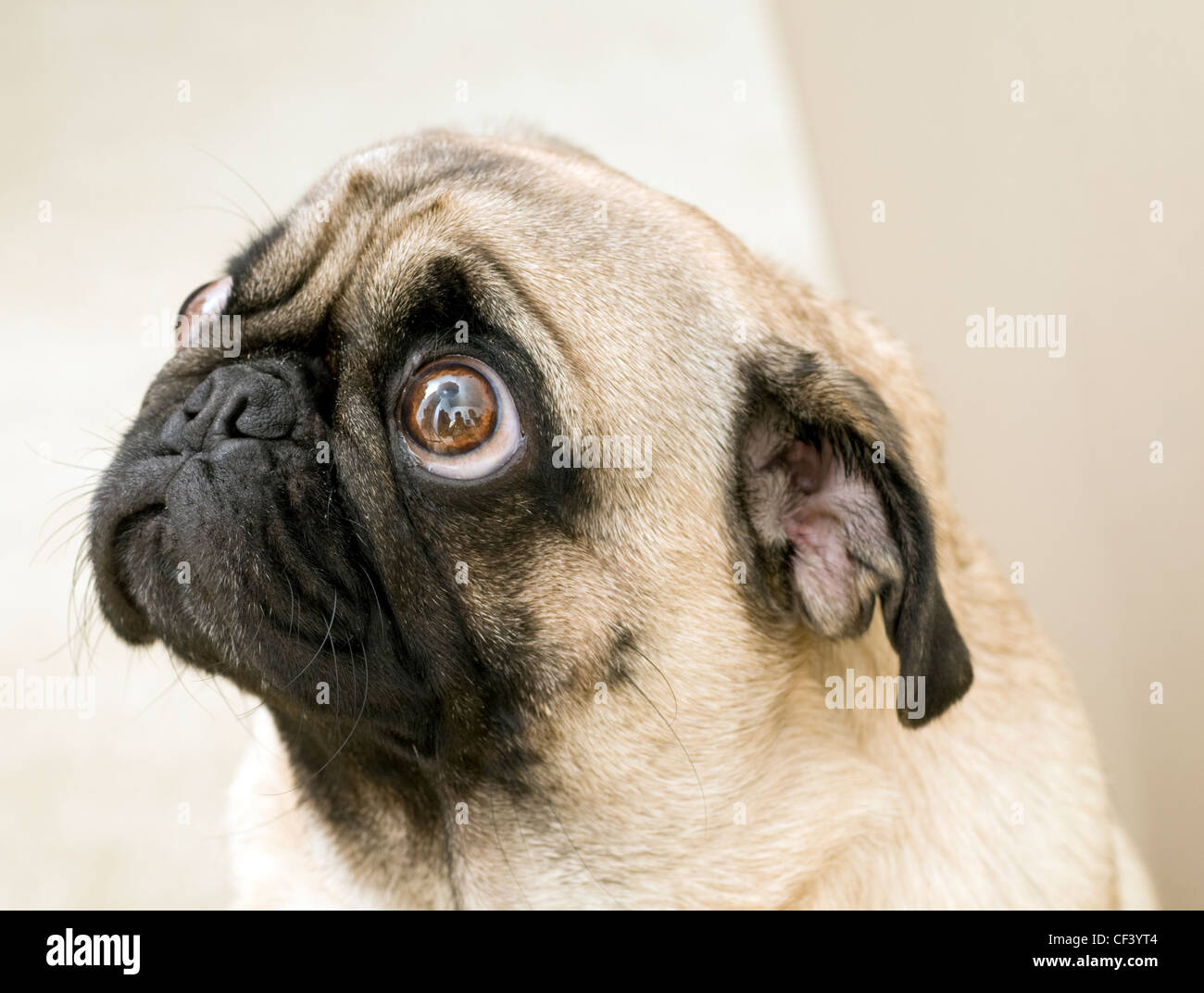 Pug Begging, Looking up at You. - Stock Image