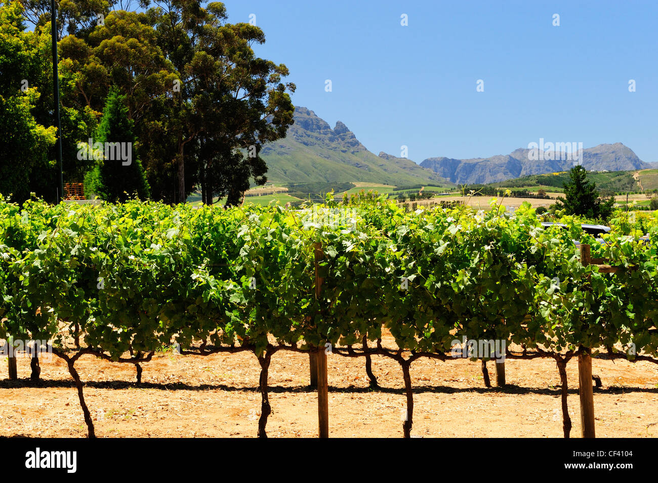 Simonsig Wine Estate, Stellenbosch, Western Cape, South Africa - Stock Image