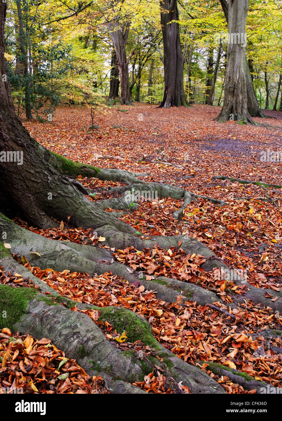A layer of russet leaves carpet the ground as autumn reaches its peak in Dibbinsdale nature reserve. - Stock Image