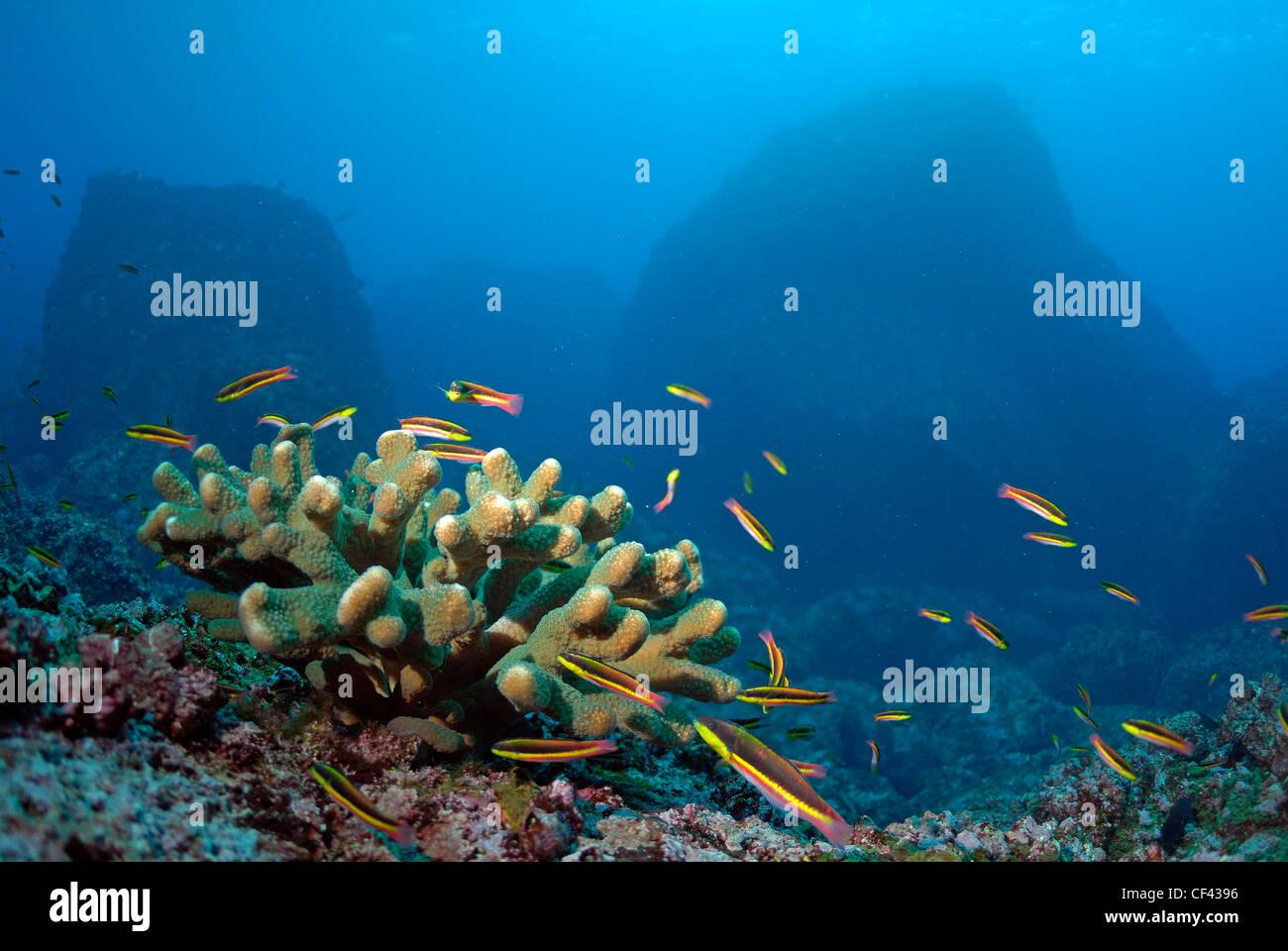 Coral and Cortez Rainbow Wrasse, initial phase - Thalassoma lucasanum, Wolf Island, Galapagos Islands, Ecuador - Stock Image