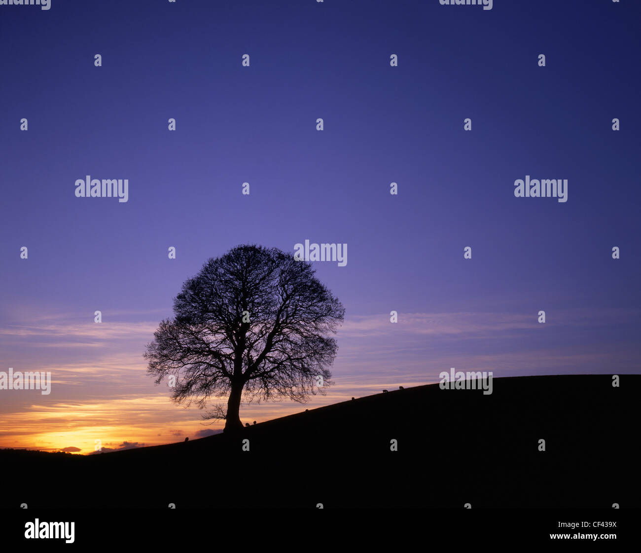 Sheep grazing by a lone tree silhouetted by a winter sunset. - Stock Image