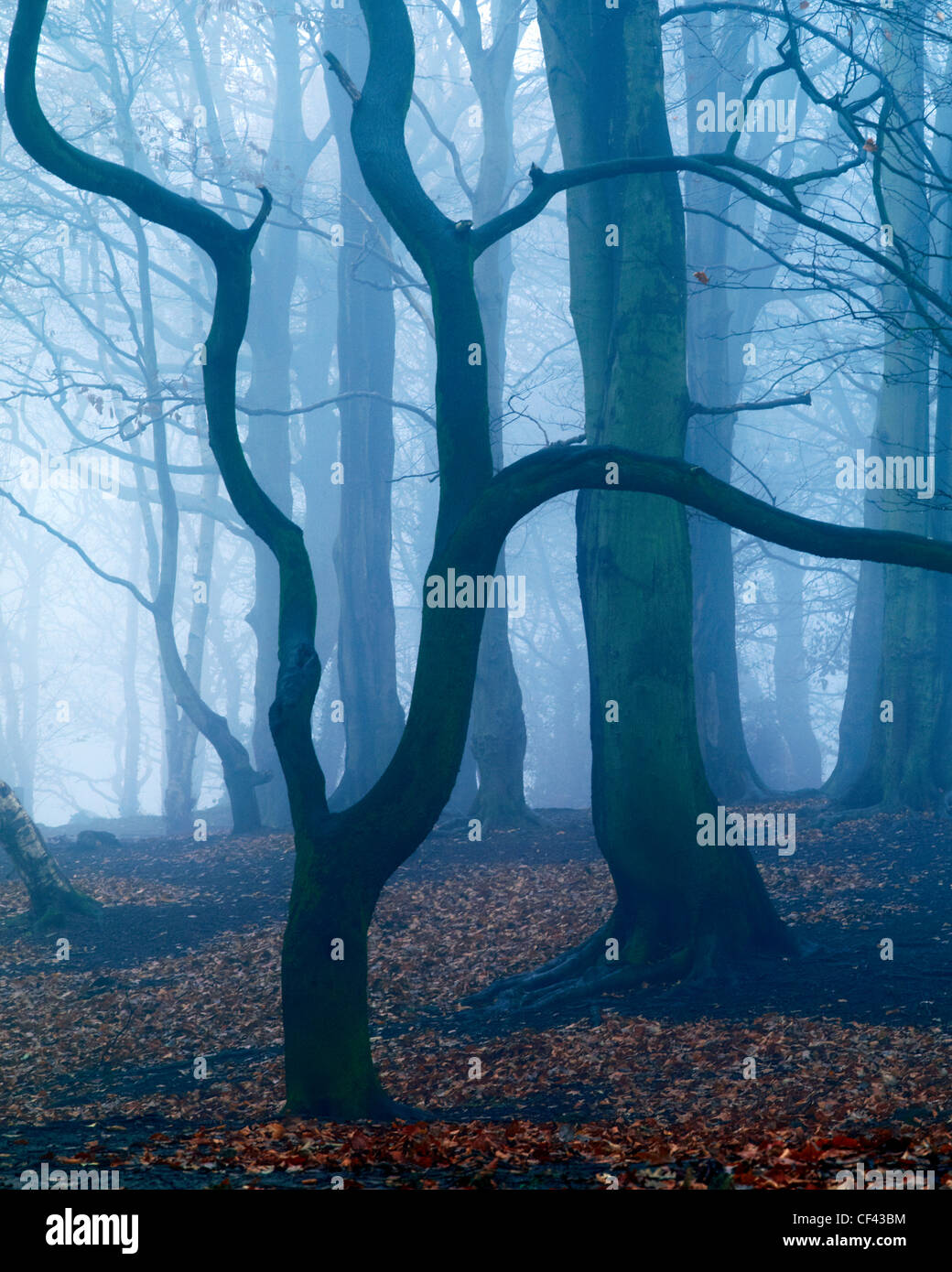 A misty winter morning in peaceful Storeton Woods above the village of Storeton on the Wirral Peninsula. Stock Photo