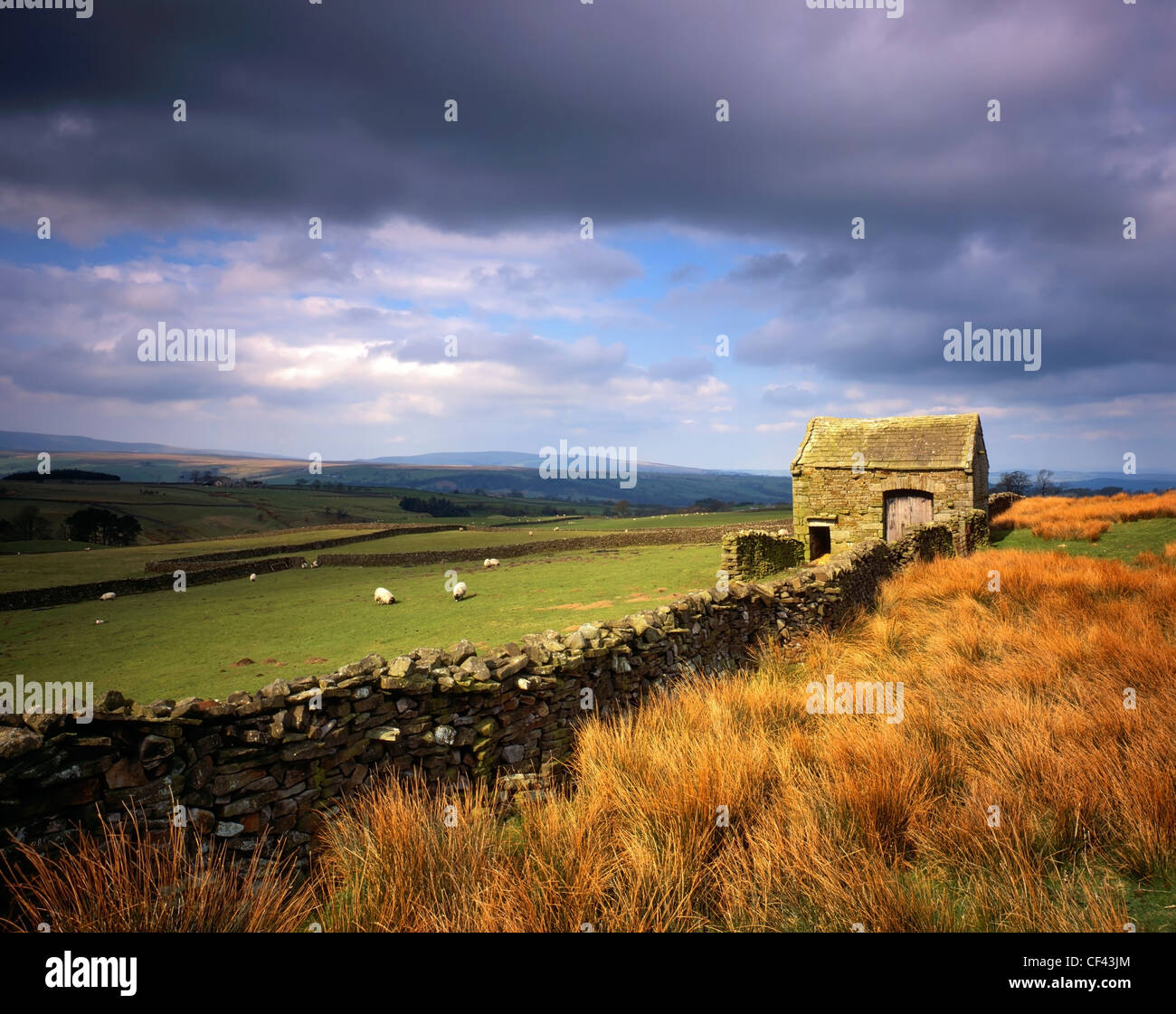 Sheep grazing in a field enclosed by a traditional dry-stone wall and barn in the Forest of Bowland. - Stock Image