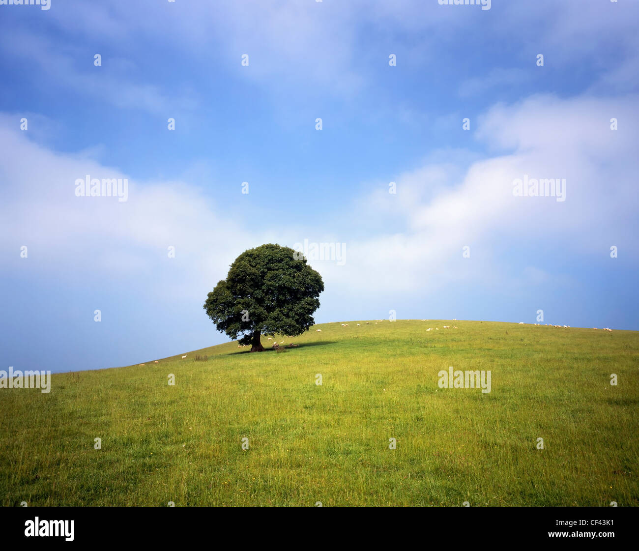 Sheep grazing on a hillside with a lone tree. - Stock Image