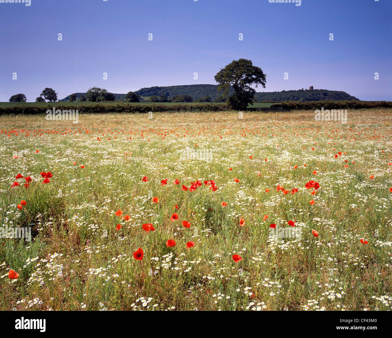 View over wild Poppies growing in a meadow towards Peckforton Castle. - Stock Image