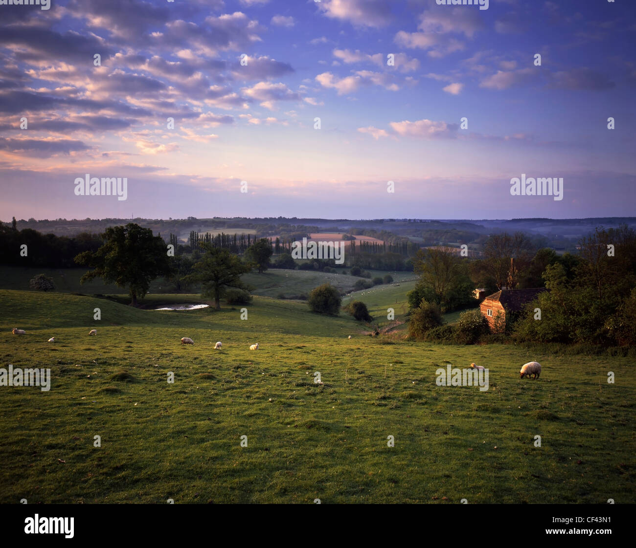 Sheep grazing in a field in the Kent countryside. - Stock Image