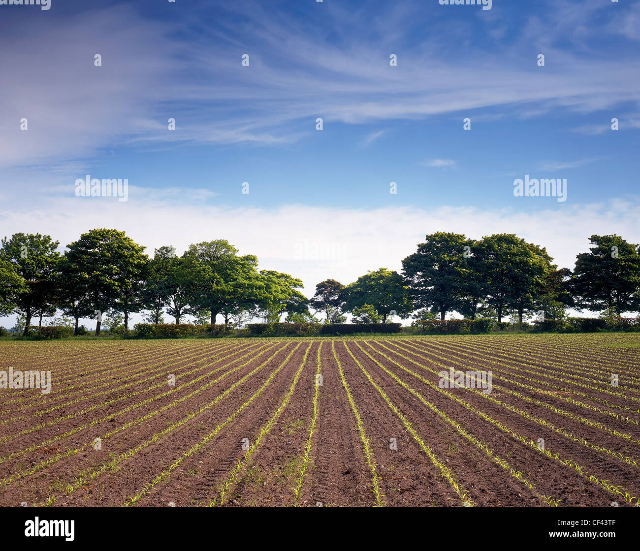 Rows of crops begin to sprout as a new growing season begins. - Stock Image